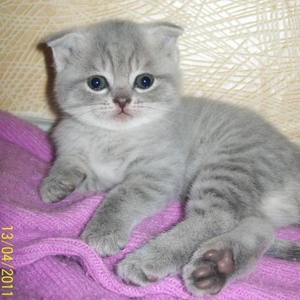 Продаю ШОТЛАНДСКИХ ВИСЛОУХИХ котят,  мраморный окрас