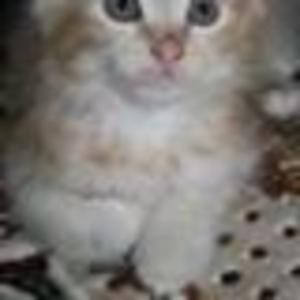 Продаю котят курильского бобтейла - две кошечки и два котика