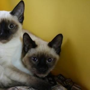 Продаются котятки меконг-бобтейла.
