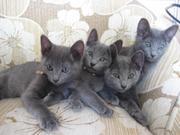 Чистокровные котята Русской Голубой